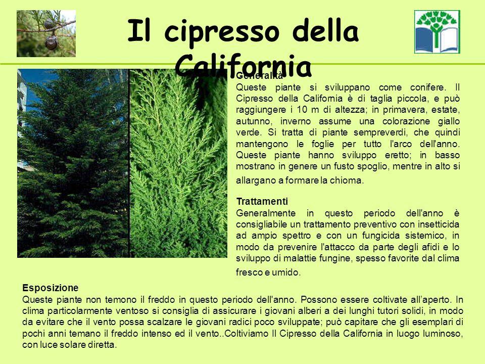 Il cipresso della California Generalità Queste piante si sviluppano come conifere. Il Cipresso della California è di taglia piccola, e può raggiungere