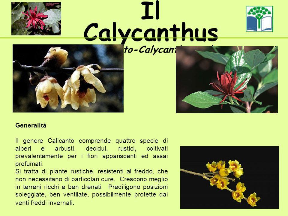 Il Calycanthus (Calicanto-Calycanthaceae ) Generalità Il genere Calicanto comprende quattro specie di alberi e arbusti, decidui, rustici, coltivati prevalentemente per i fiori appariscenti ed assai profumati.
