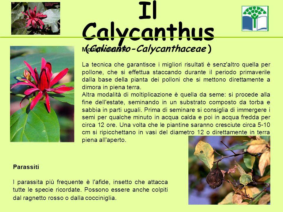 Il Calycanthus (Calicanto-Calycanthaceae ) Parassiti l parassita più frequente è l afide, insetto che attacca tutte le specie ricordate.