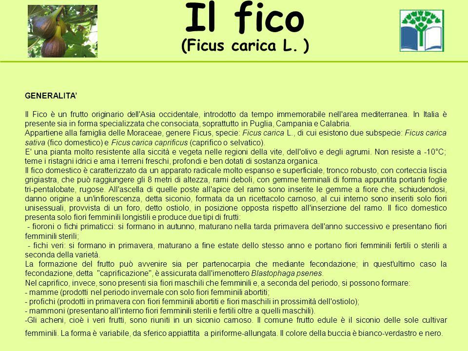 Il fico (Ficus carica L. ) GENERALITA Il Fico è un frutto originario dell'Asia occidentale, introdotto da tempo immemorabile nell'area mediterranea. I