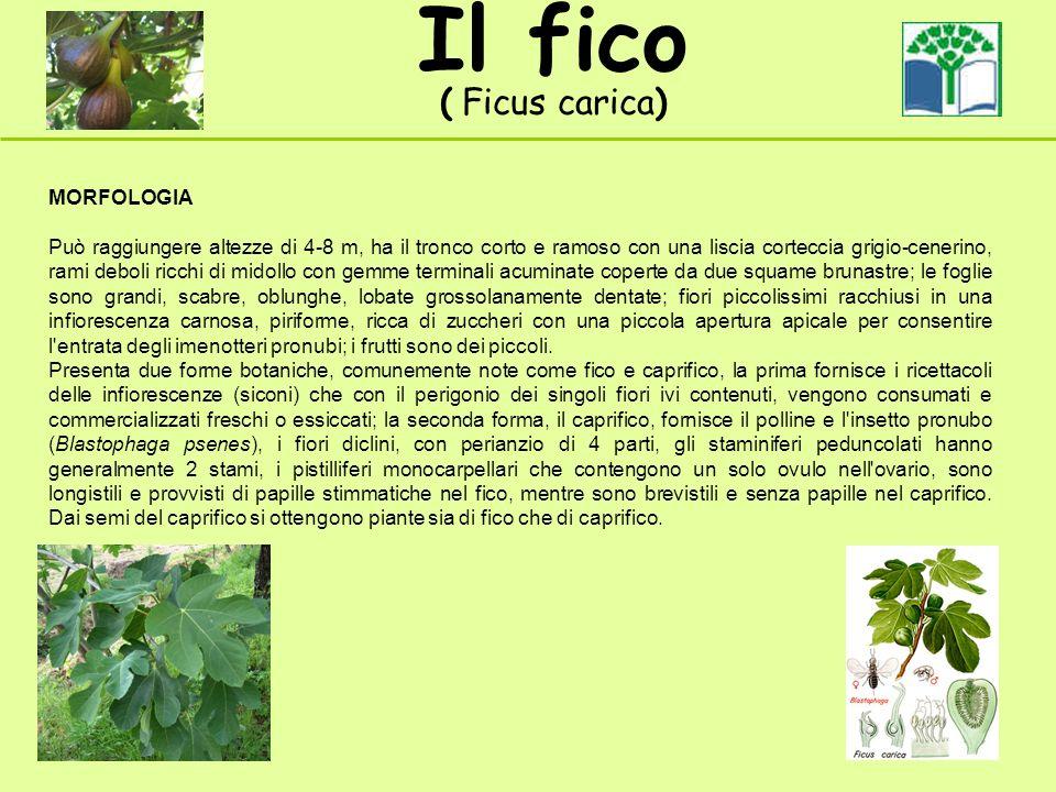 Il fico ( Ficus carica) MORFOLOGIA Può raggiungere altezze di 4-8 m, ha il tronco corto e ramoso con una liscia corteccia grigio-cenerino, rami deboli
