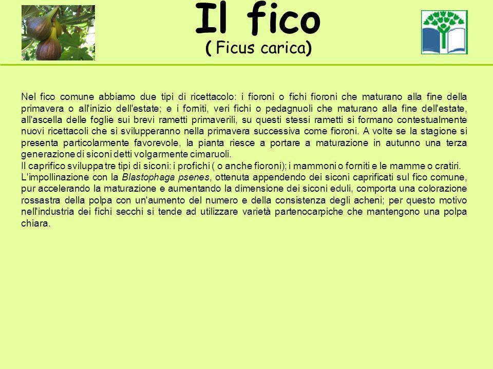 Il fico ( Ficus carica) Nel fico comune abbiamo due tipi di ricettacolo: i fioroni o fichi fioroni che maturano alla fine della primavera o all'inizio