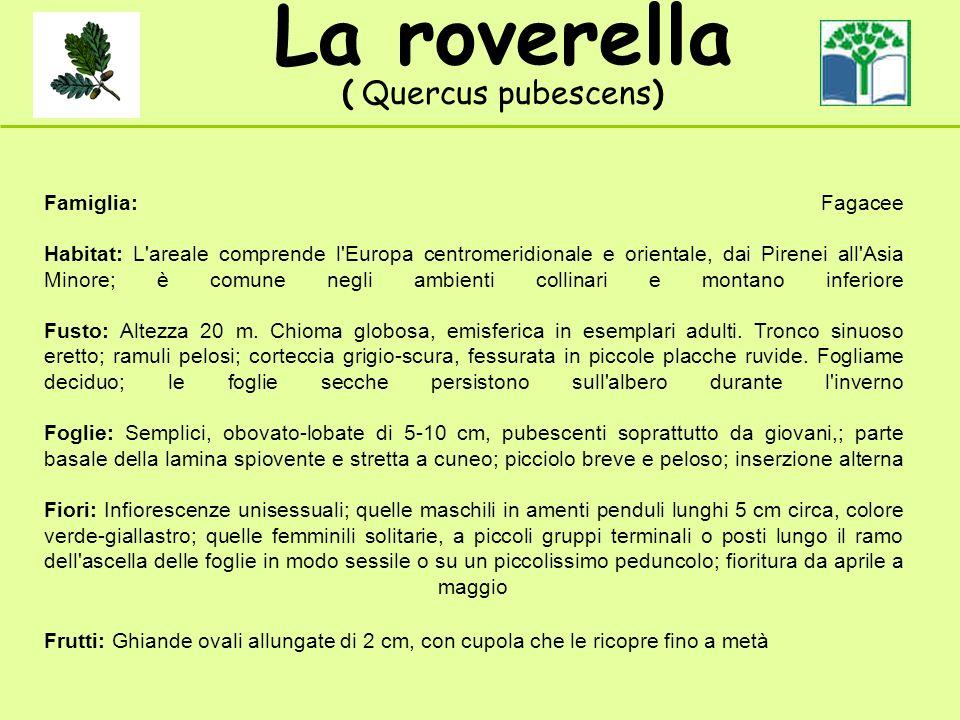La roverella ( Quercus pubescens) Famiglia: Fagacee Habitat: L areale comprende l Europa centromeridionale e orientale, dai Pirenei all Asia Minore; è comune negli ambienti collinari e montano inferiore Fusto: Altezza 20 m.