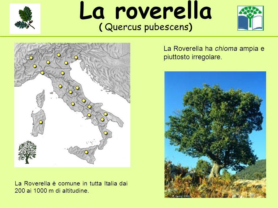 La roverella ( Quercus pubescens) La Roverella è comune in tutta Italia dai 200 ai 1000 m di altitudine. La Roverella ha chioma ampia e piuttosto irre