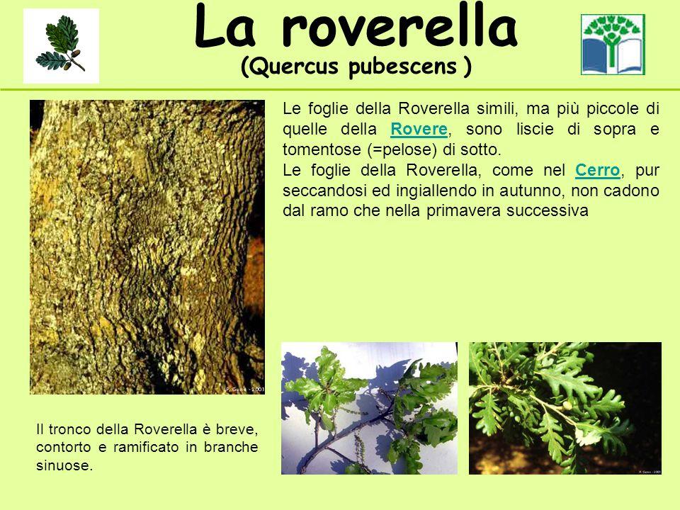 La roverella (Quercus pubescens ) Il tronco della Roverella è breve, contorto e ramificato in branche sinuose. Le foglie della Roverella simili, ma pi