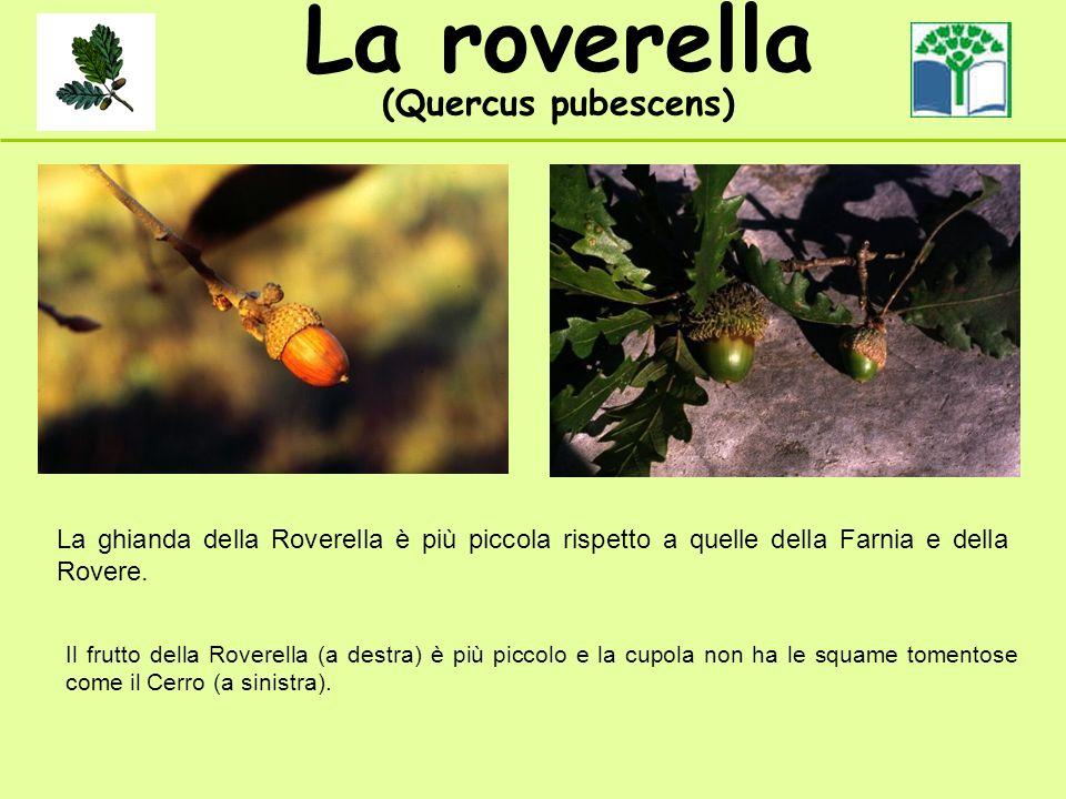 La roverella (Quercus pubescens) La ghianda della Roverella è più piccola rispetto a quelle della Farnia e della Rovere. Il frutto della Roverella (a
