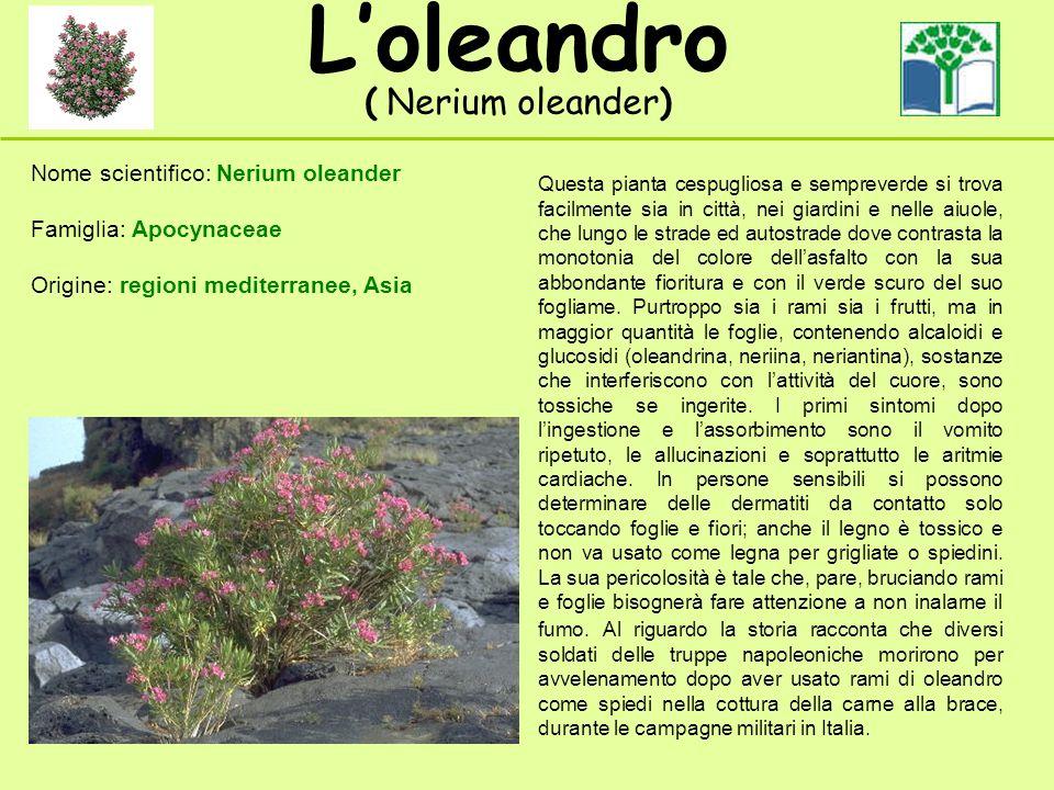 Loleandro ( Nerium oleander) Nome scientifico: Nerium oleander Famiglia: Apocynaceae Origine: regioni mediterranee, Asia Questa pianta cespugliosa e s