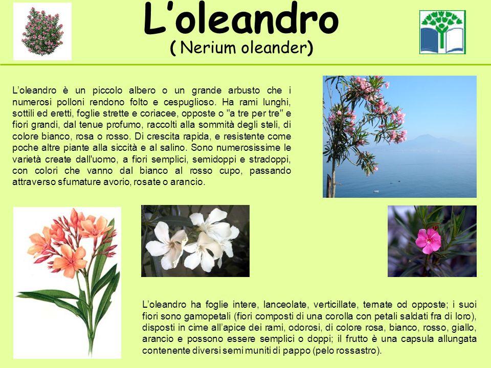 Loleandro ( Nerium oleander) Loleandro è un piccolo albero o un grande arbusto che i numerosi polloni rendono folto e cespuglioso. Ha rami lunghi, sot