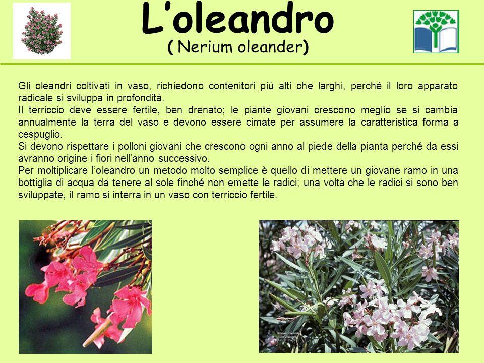 Gli oleandri coltivati in vaso, richiedono contenitori più alti che larghi, perché il loro apparato radicale si sviluppa in profondità. Il terriccio d