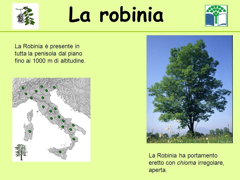 La robinia La Robinia è presente in tutta la penisola dal piano fino ai 1000 m di altitudine. La Robinia ha portamento eretto con chioma irregolare, a