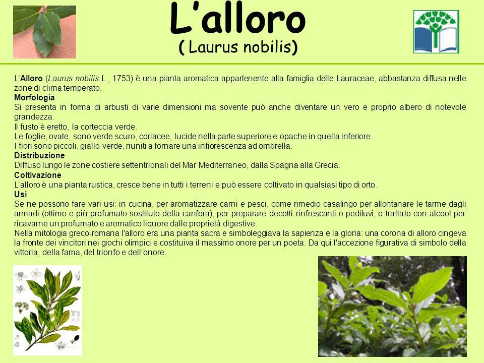 Lalloro ( Laurus nobilis) LAlloro (Laurus nobilis L., 1753) è una pianta aromatica appartenente alla famiglia delle Lauraceae, abbastanza diffusa nelle zone di clima temperato.