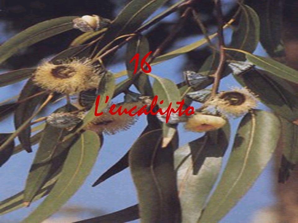 Leucalipto 16
