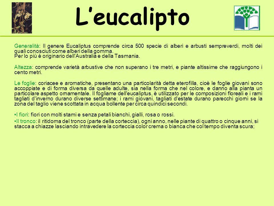 Generalità: Il genere Eucaliptus comprende circa 500 specie di alberi e arbusti sempreverdi, molti dei quali conosciuti come alberi della gomma. Per l