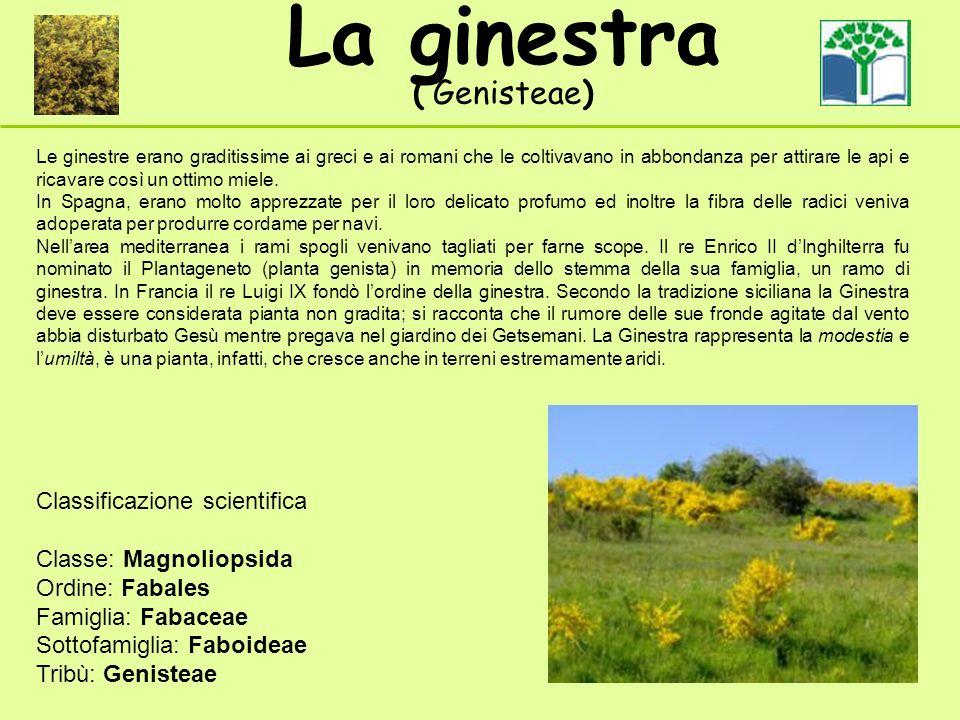 Le ginestre erano graditissime ai greci e ai romani che le coltivavano in abbondanza per attirare le api e ricavare così un ottimo miele.