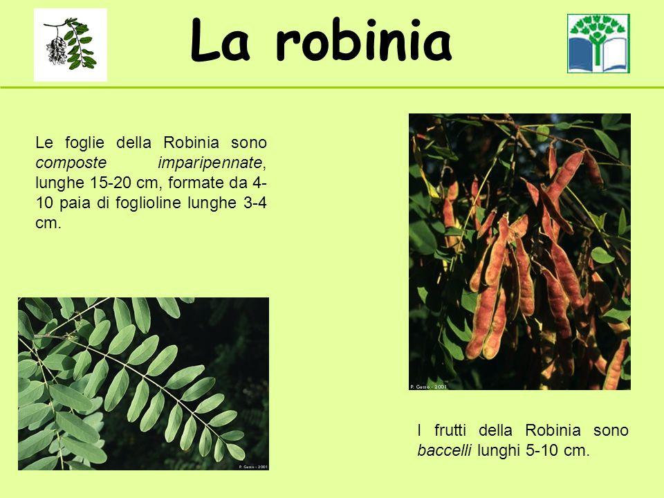 La robinia Le foglie della Robinia sono composte imparipennate, lunghe 15-20 cm, formate da 4- 10 paia di foglioline lunghe 3-4 cm. I frutti della Rob