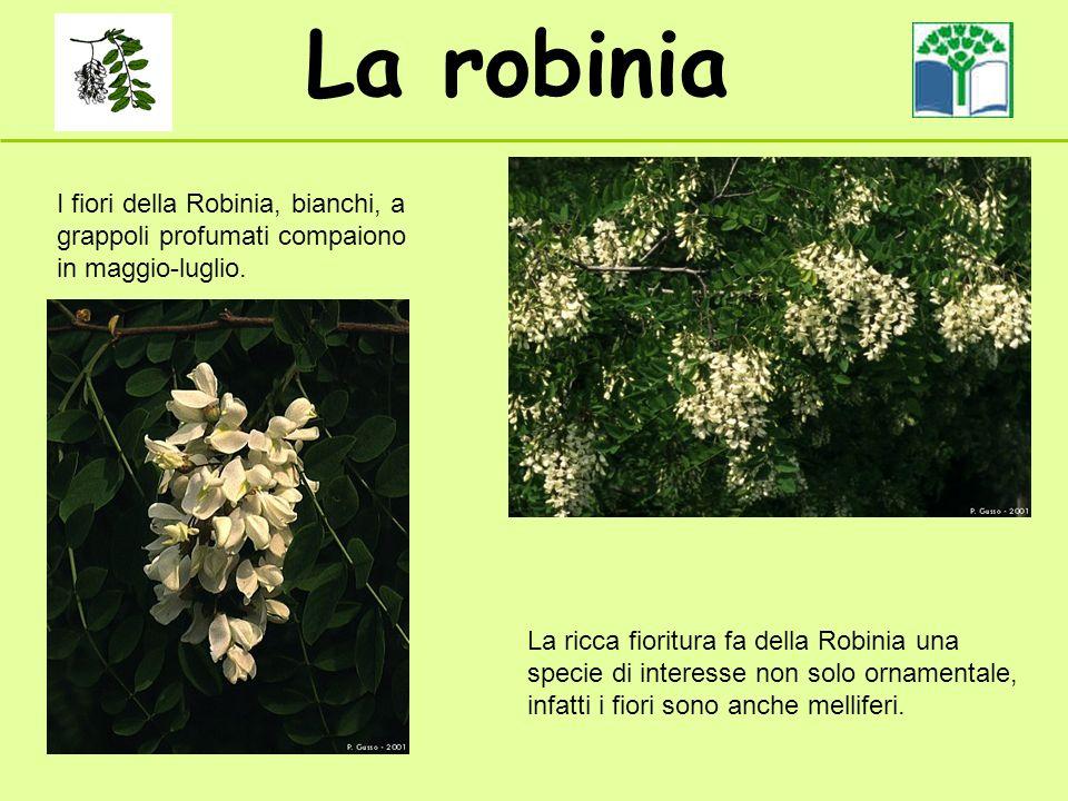 La robinia I fiori della Robinia, bianchi, a grappoli profumati compaiono in maggio-luglio.