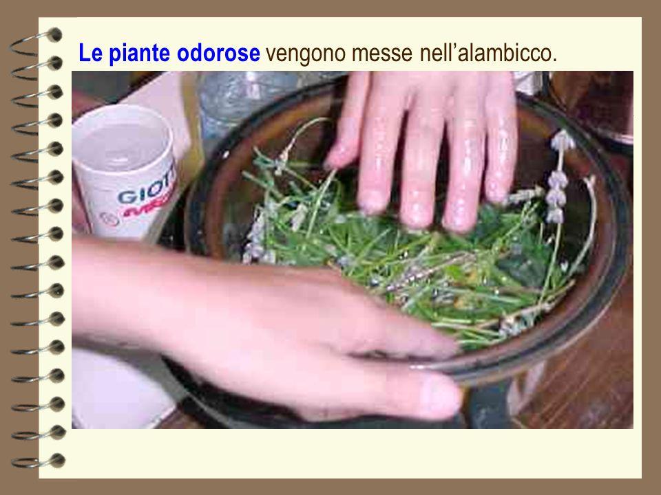 Le piante odorose vengono messe nellalambicco.