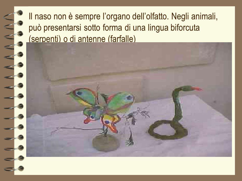 Il naso non è sempre lorgano dellolfatto. Negli animali, può presentarsi sotto forma di una lingua biforcuta (serpenti) o di antenne (farfalle)