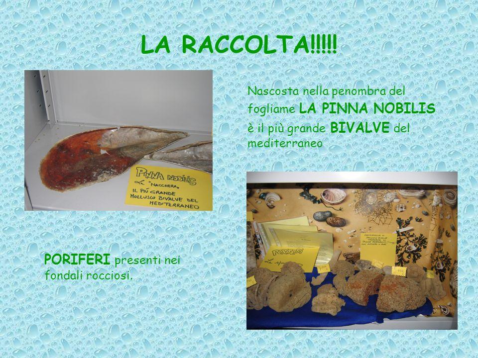 LA RACCOLTA!!!!! Nascosta nella penombra del fogliame LA PINNA NOBILIS è il più grande BIVALVE del mediterraneo PORIFERI presenti nei fondali rocciosi