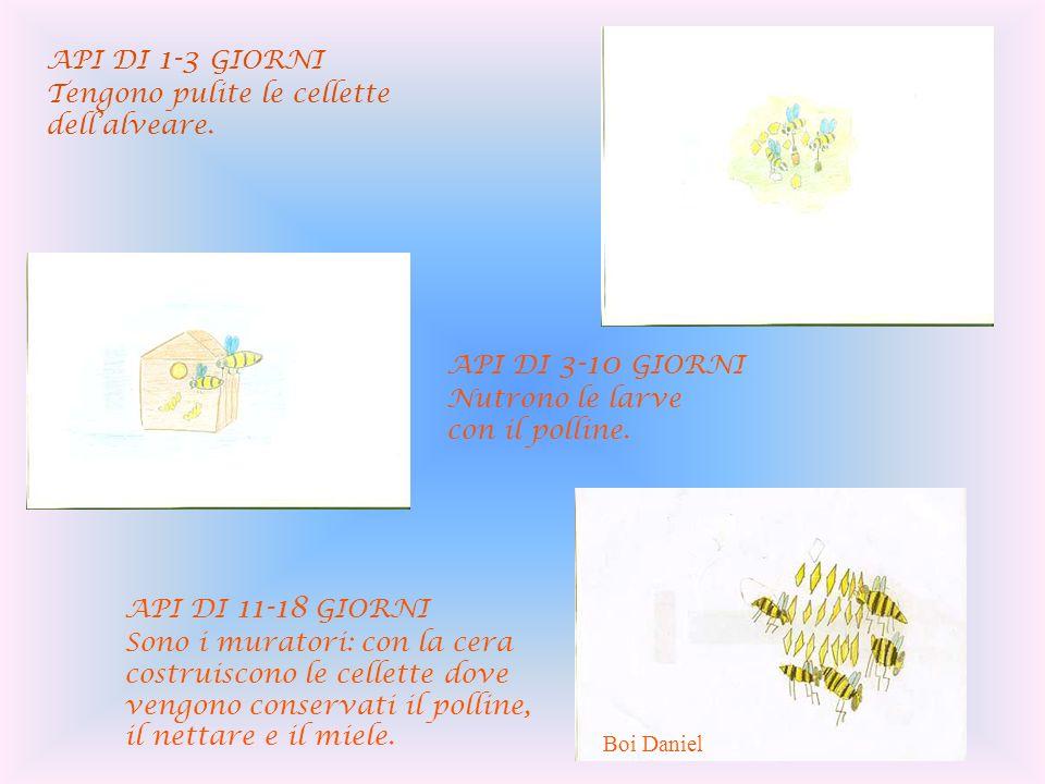 API DI 1-3 GIORNI Tengono pulite le cellette dellalveare. API DI 3-10 GIORNI Nutrono le larve con il polline. API DI 11-18 GIORNI Sono i muratori: con