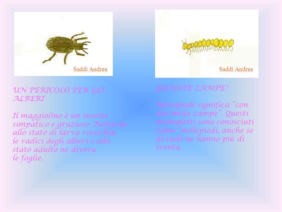 QUANTE ZAMPE? Miriapode significa con diecimila zampe. Questi animaletti sono conosciuti come millepiedi, anche se di rado ne hanno più di trenta. UN