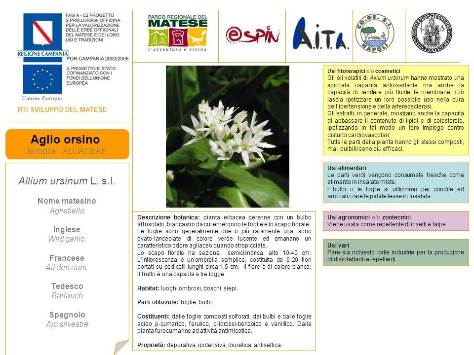 RTI SVILUPPO DEL MATESE Aglio orsino famiglia ALLIACEAE Allium ursinum L.