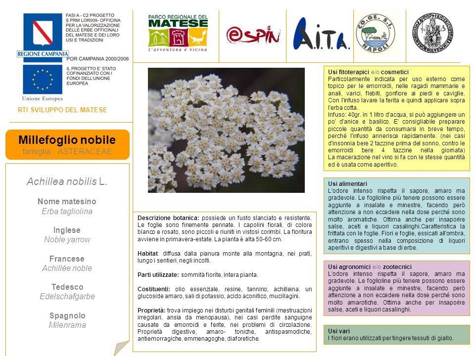 RTI SVILUPPO DEL MATESE Millefoglio nobile famiglia ASTERACEAE Achillea nobilis L.