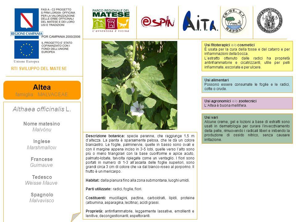 RTI SVILUPPO DEL MATESE Timo pepolino famiglia LAMIACEAE Thymus serpillum L.