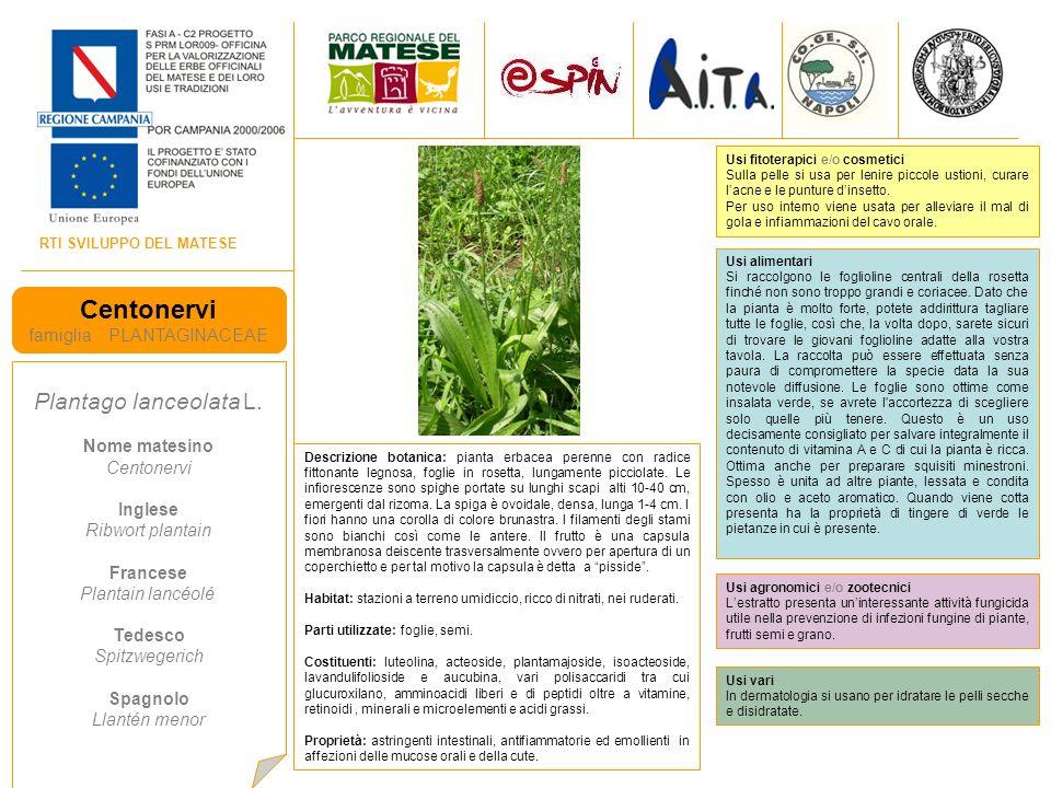 RTI SVILUPPO DEL MATESE Centonervi famiglia PLANTAGINACEAE Plantago lanceolata L.