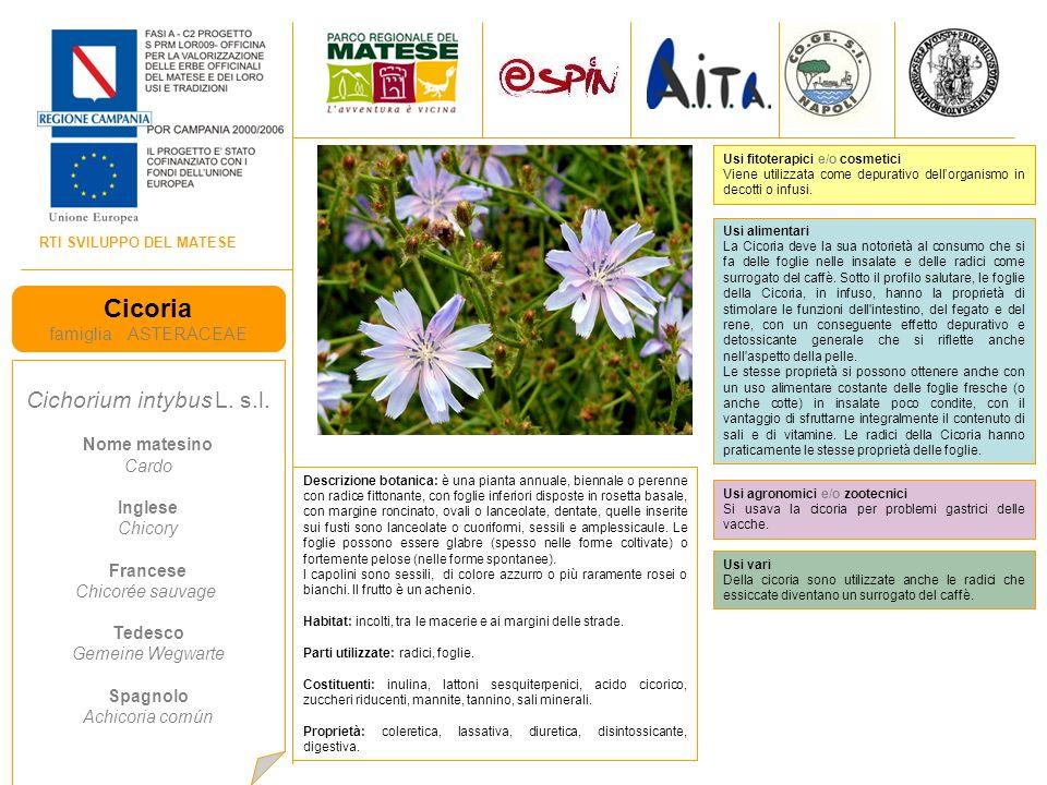 RTI SVILUPPO DEL MATESE Cicoria famiglia ASTERACEAE Cichorium intybus L.