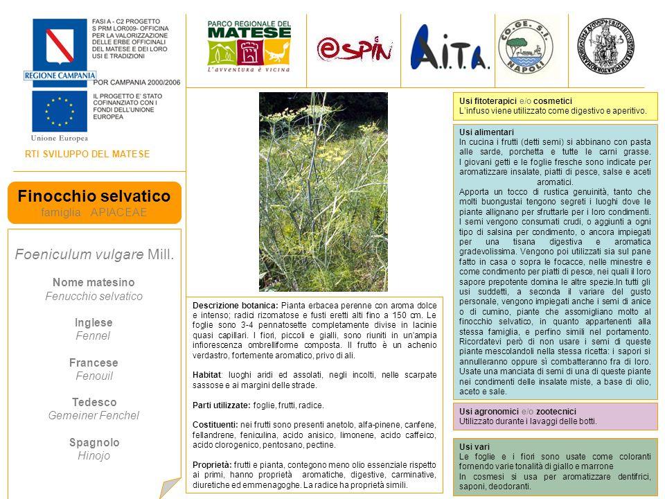 RTI SVILUPPO DEL MATESE Finocchio selvatico famiglia APIACEAE Foeniculum vulgare Mill.