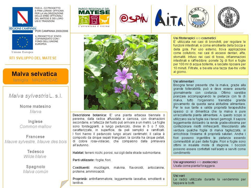 RTI SVILUPPO DEL MATESE Malva selvatica famiglia MALVACEAE Malva sylvestris L.