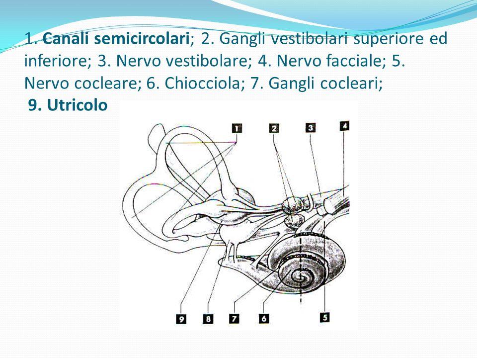 SENSI VESTIBOLARI Lapparato vestibolare fornisce informazioni utili per mantenere la postura tramite canali semicircolari che contengono un liquido ca