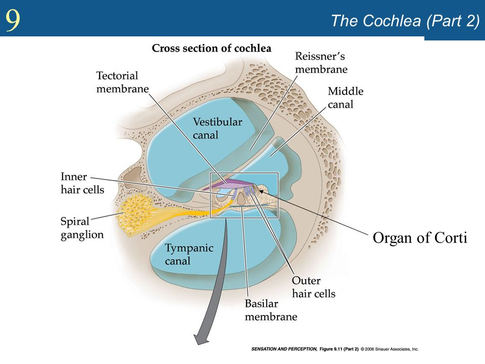 9 The Cochlea (Part 2) Organ of Corti