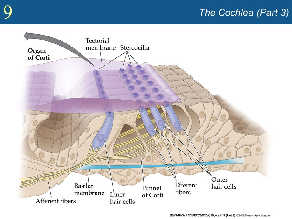 9 The Cochlea (Part 3)