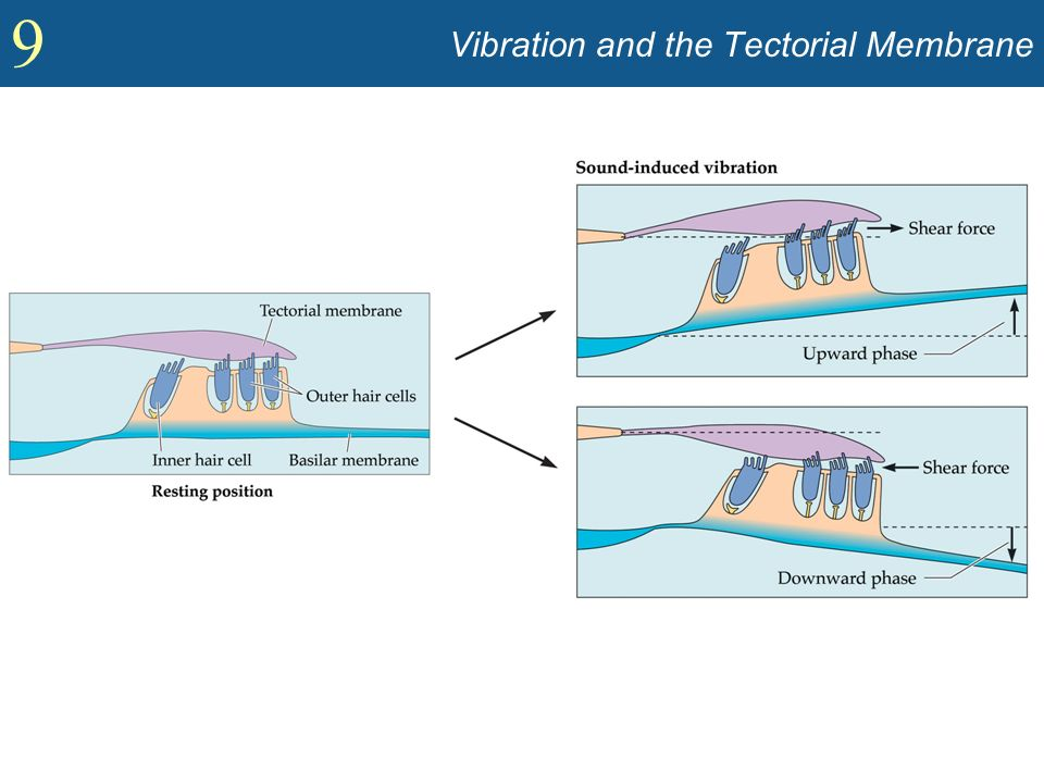 9 Vibration and the Tectorial Membrane