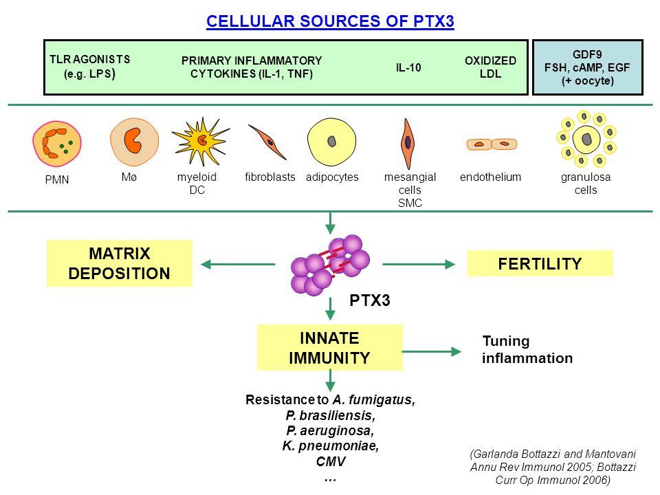 CELLULAR SOURCES OF PTX3 MATRIX DEPOSITION MøMømyeloid DC fibroblastsadipocytesmesangial cells SMC endotheliumgranulosa cells FERTILITY PTX3 TLR AGONI