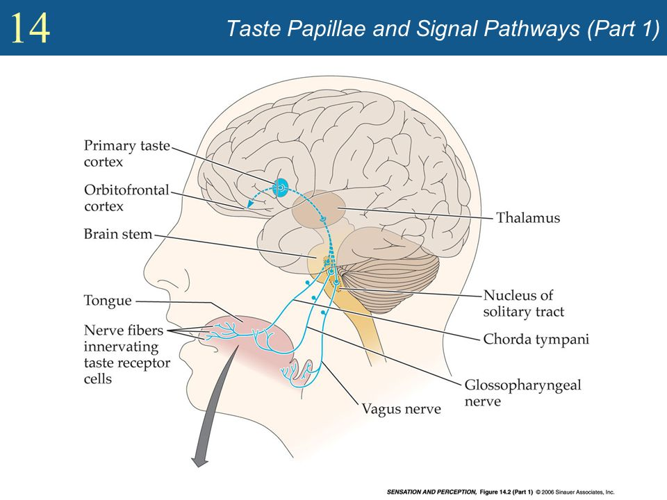 14 Taste Papillae and Signal Pathways (Part 1)