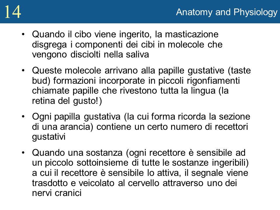 14 Anatomy and Physiology Le Papille: –Le papille danno alla lingua quella forma a piccoli rigonfiamenti così caratteristica.Ci sono 4 diversi tipi di papille DI CUI SOLO TRE contengono recettori del gusto.