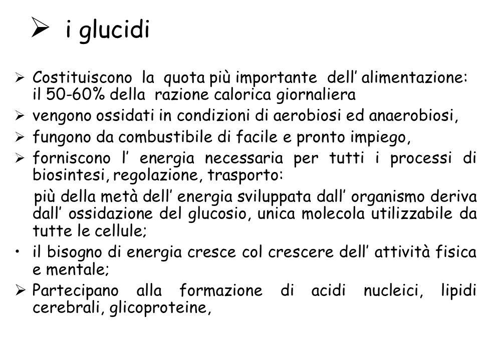 i glucidi Costituiscono la quota più importante dell alimentazione: il 50-60% della razione calorica giornaliera vengono ossidati in condizioni di aer