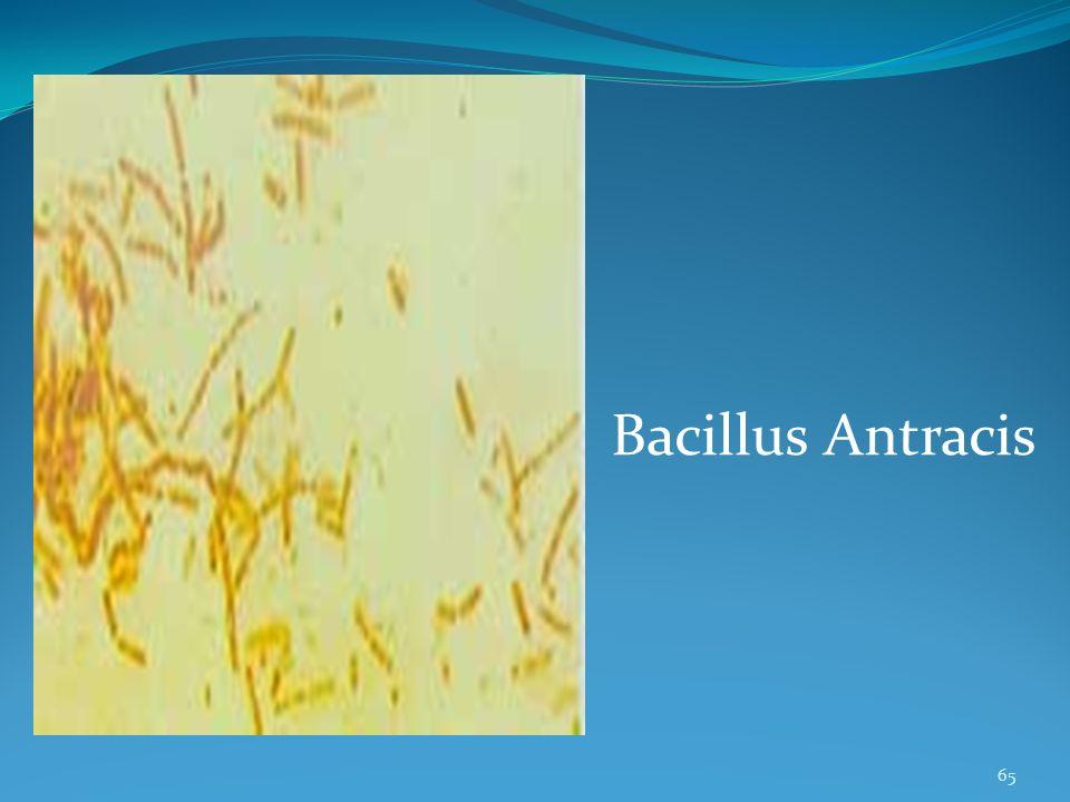 65 Bacillus Antracis