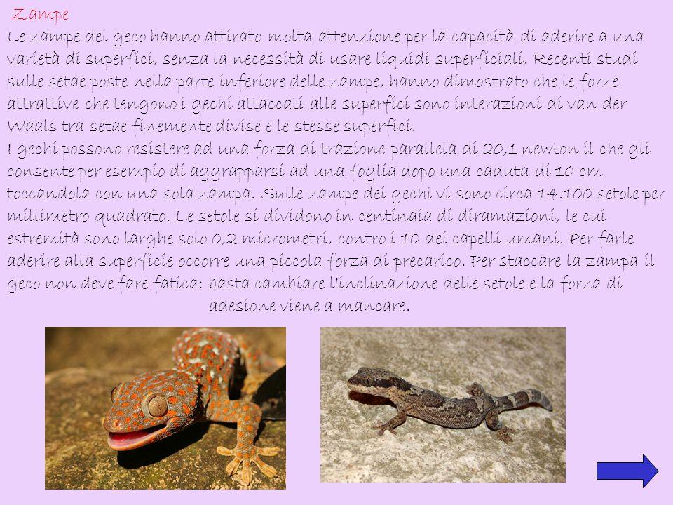Zampe Le zampe del geco hanno attirato molta attenzione per la capacità di aderire a una varietà di superfici, senza la necessità di usare liquidi sup
