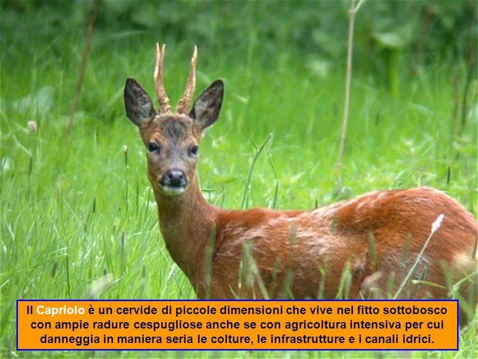 La Volpe è un canide carnivoro che si nutre di piccoli ugulati (lepri, ucelli), invertebrati (lombrichi, cavallette) e frutta (more, mele).
