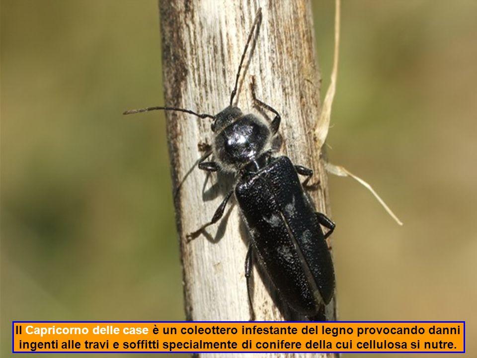 Il Cinipide è una piccola vespa fitofaga che produce ingrossamenti al fogliame detti galle; nocivo per il castagno per il suo veloce deperimento.