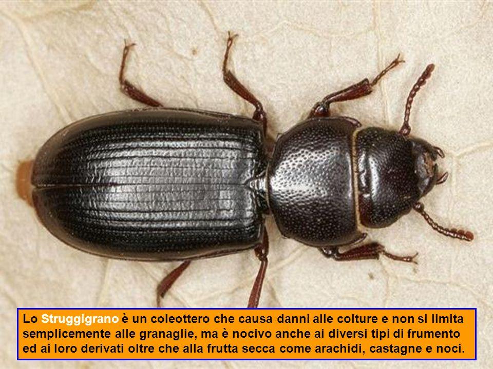 La Cavalletta o Locusta è un insetto ortottero fitofago.