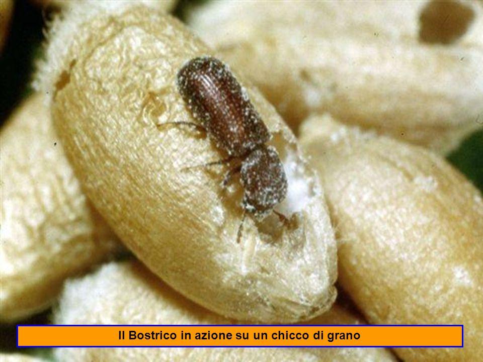 Il Trogoderma è un coleottero che infesta oltre i cereali e loro derivati anche i prodotti vegetali oleaginosi, i semi delle leguminose, il latte in polvere e la farina di pesce che si trovano nei locali di immagazzinamento.