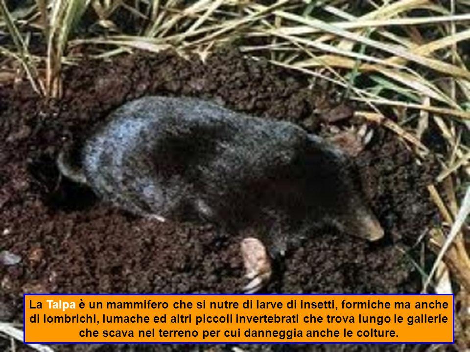 La Talpa è un mammifero che si nutre di larve di insetti, formiche ma anche di lombrichi, lumache ed altri piccoli invertebrati che trova lungo le gallerie che scava nel terreno per cui danneggia anche le colture.
