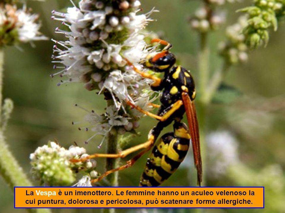 Il Pesciolino dargento (Lepisma saccharina) è un insetto veloce privo di ali che dimora sotto i frigoriferi, nei bagni caldi, nelle fessure delle tegole.