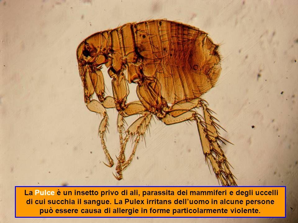 La Zecca è un artropode.Si attacca alla pelle, da cui succhia il sangue.