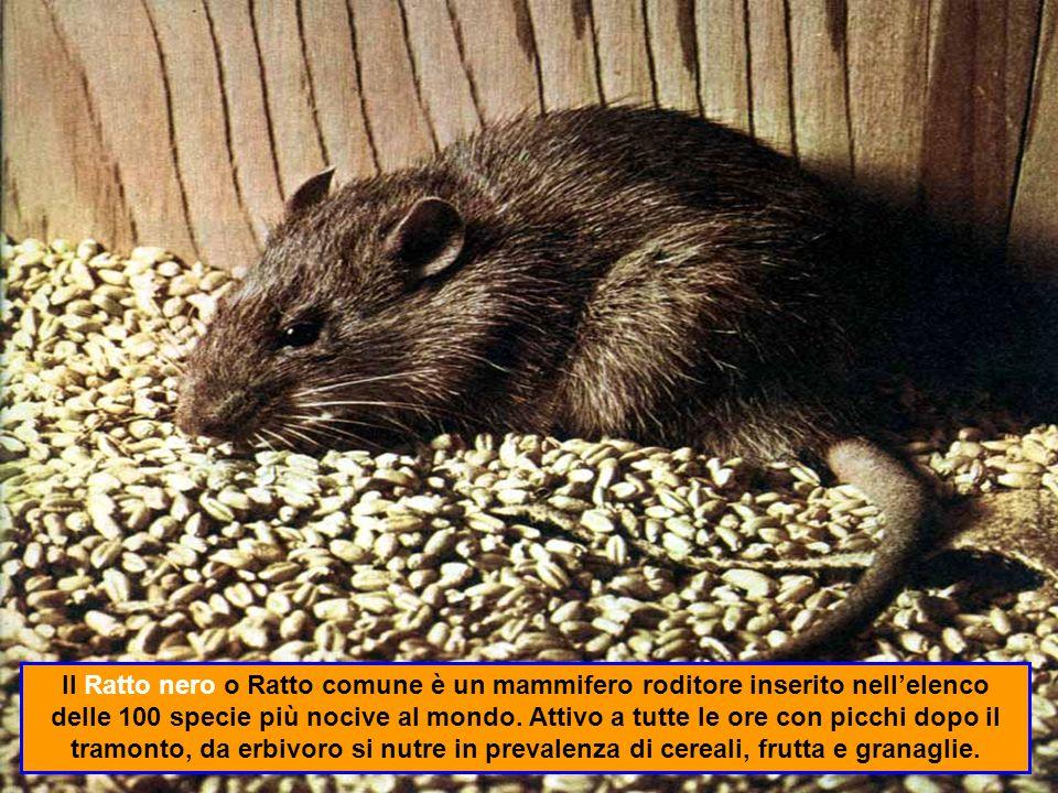 Il Bostrico o cappuccino è uno degli infestanti più dannosi per le derrate.